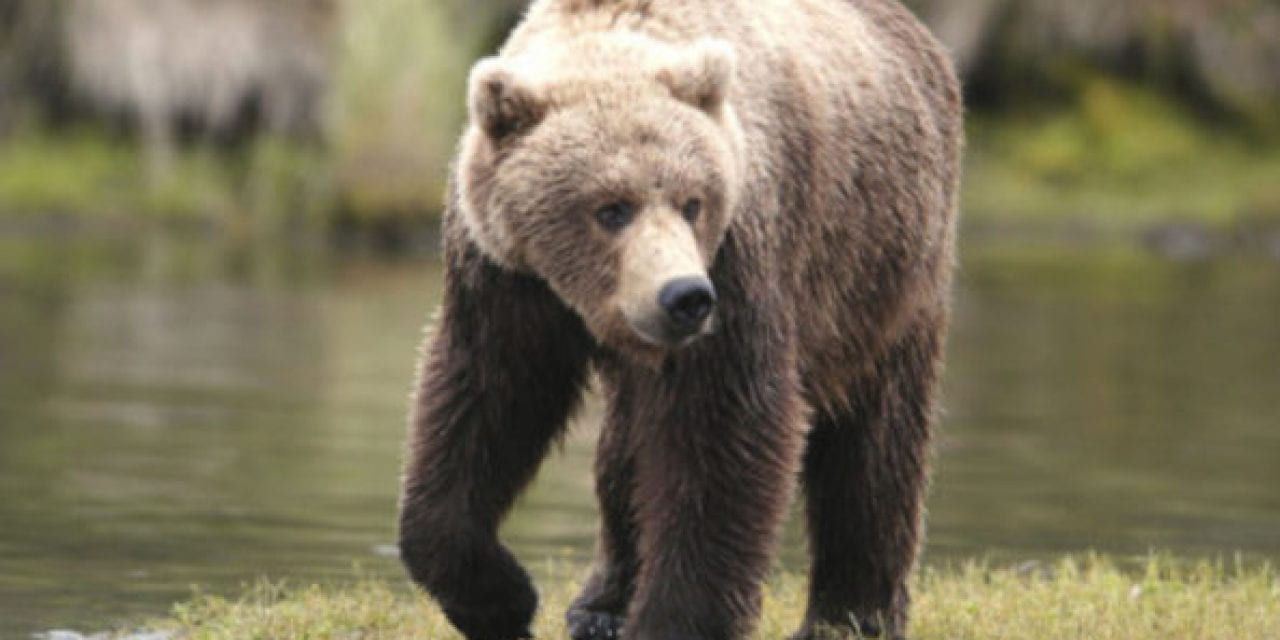 How an 11-Year-Old Boy Saved His Family by Killing Charging Brown Bear With Shotgun