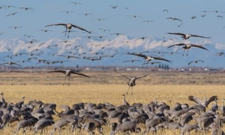 Sandhill Crane Hunting: Identification, Gear, and Tactics