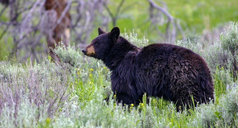 black bear euthanized