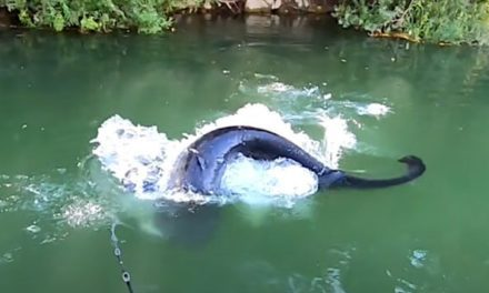 Angler Hooks Into Gigantic Wels Catfish Using Topwater Lures
