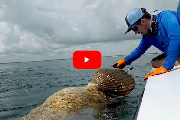 Goliath Grouper Pulls Angler Overboard During Unhooking Attempt