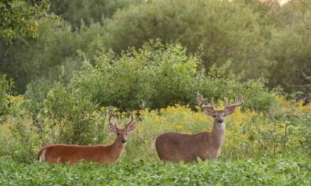 15 Magnificent Velvet Bucks Captured During My Summer Photography Ritual