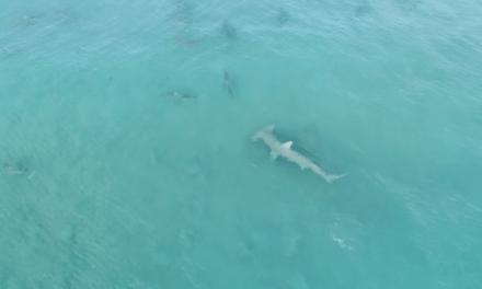 Drone Footage Captures Giant Hammerhead Hunting Blacktip Sharks Off Florida Coast