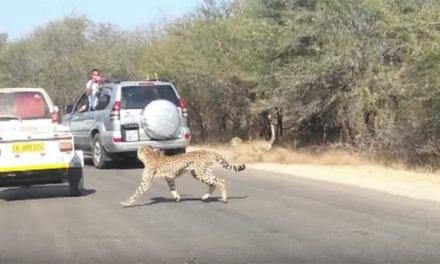 Cheetah Chases Impala Straight Into Tourist's Car Window