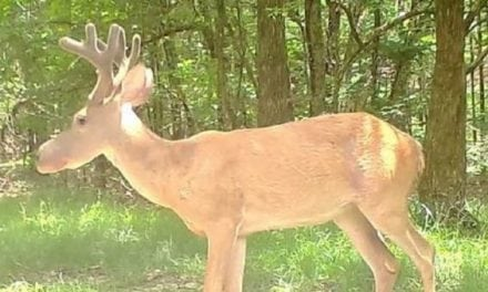 Rare 'Bullwinkle Syndrome' Deer Caught on Mississippi Trail Cam