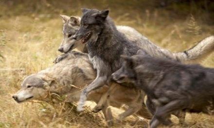 Strong Measures to be Taken by Washington Regarding Wolf Pack
