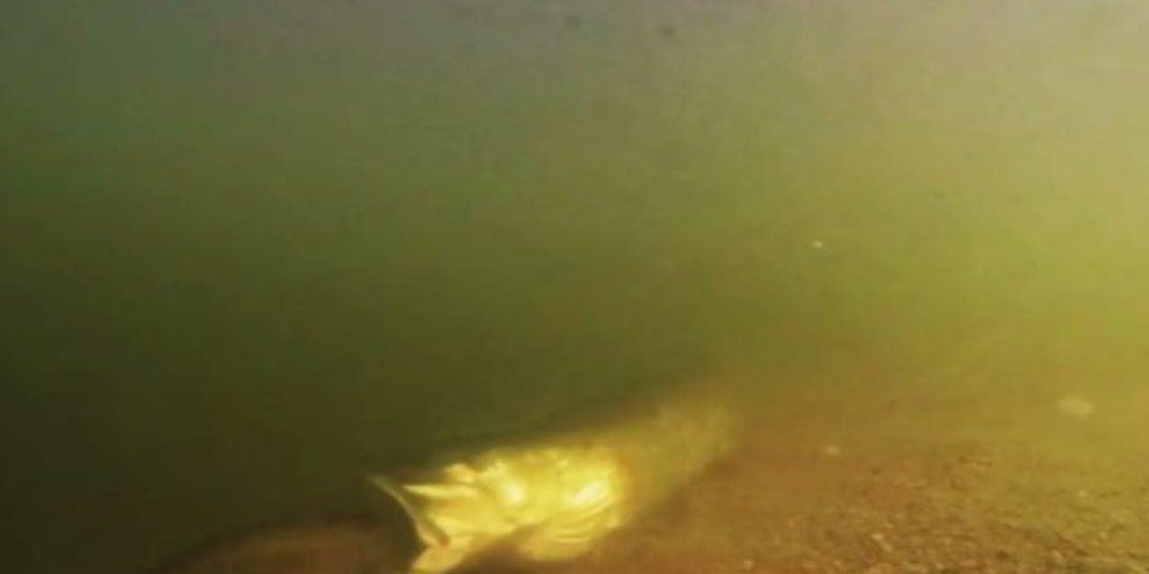 Feeding Frenzy: Muskie Mows Down Bass in Underwater Footage