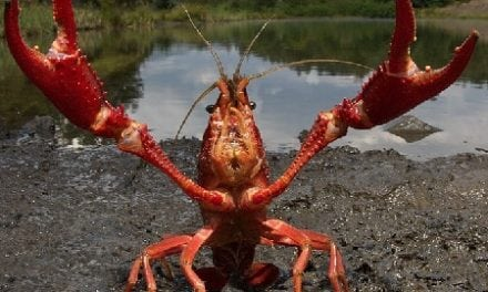 Invasive red swamp crayfish found in two locations in Michigan