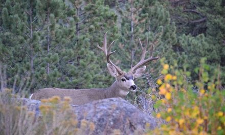 Mule Deer On California Public Land