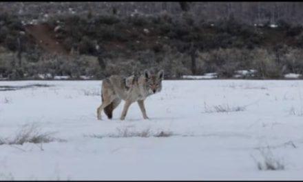 "Sundance Film ""Wind River"" Brings Predator Hunting to the Big Screen"