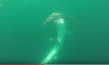 Tiger Shark vs. Hammerhead Shark (Video)