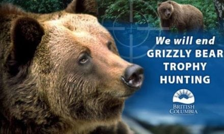 B.C. Ending Trophy Grizzly Hunting Due To Negative Political Poll Numbers
