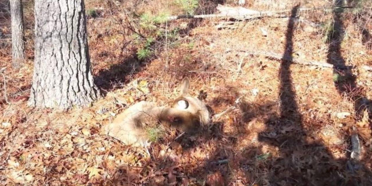 Hunter Almost Trips Over Sleeping Deer