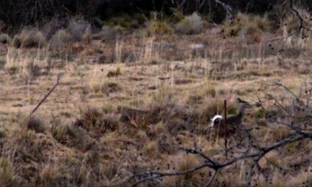 Stealthy Bobcat Hammers A Deer on Film…Again