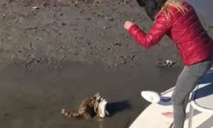 Video: Hungry Raccoon Hilariously Intercepts Hooked Redfish