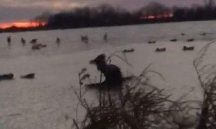Video: Retriever Beefs on the Ice, Handles It Like a Boss