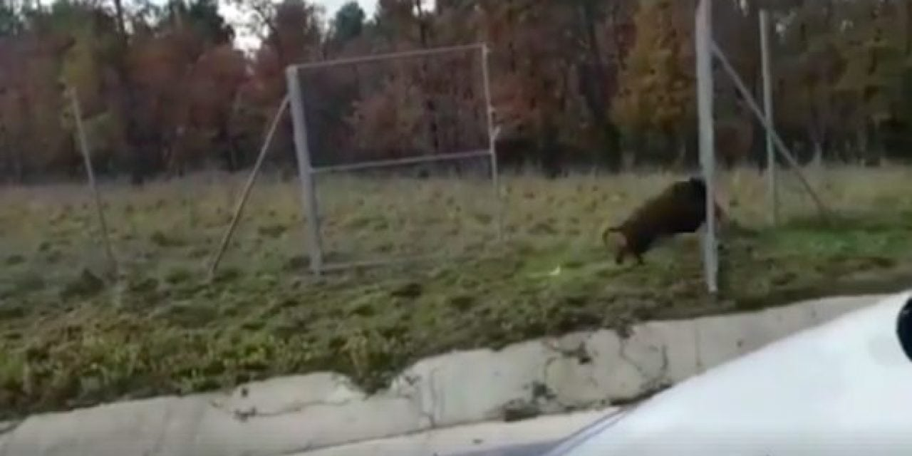 Wild Boars Are Apparently Hunting Themselves Now