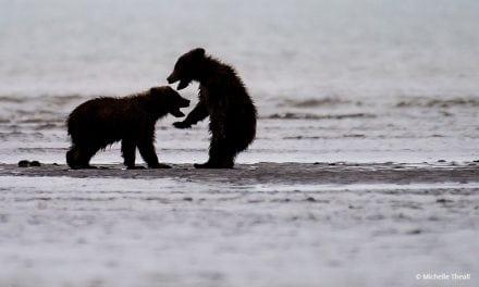 Last Frame: Bears At Play