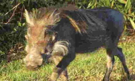 African Warthog Found Running Wild in Florida