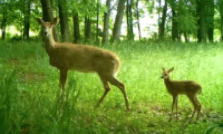 Coyotes Affect Deer During Fawning Season: Study