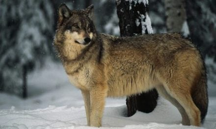 Radioactive Gray Wolf Escaped Chernobyl's Exclusion Zone