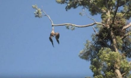 The Only Way It's Acceptable to Shoot Down a Bald Eagle is If You're Saving It