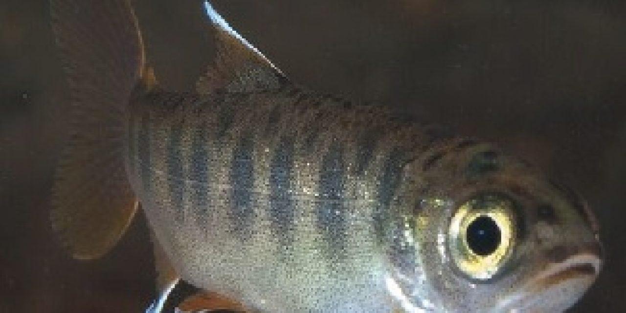 'Condor Time' for Central California Coast Coho Salmon