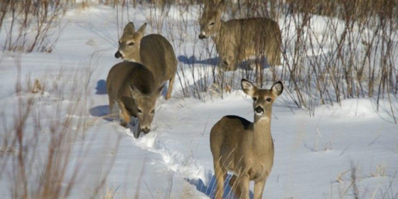 Minnesota Whitetail's Movements Baffle Researchers