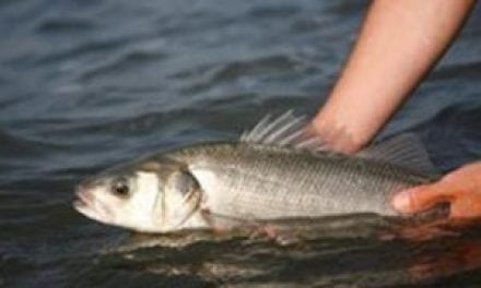 European Commission set to reinstate one bag bass limit