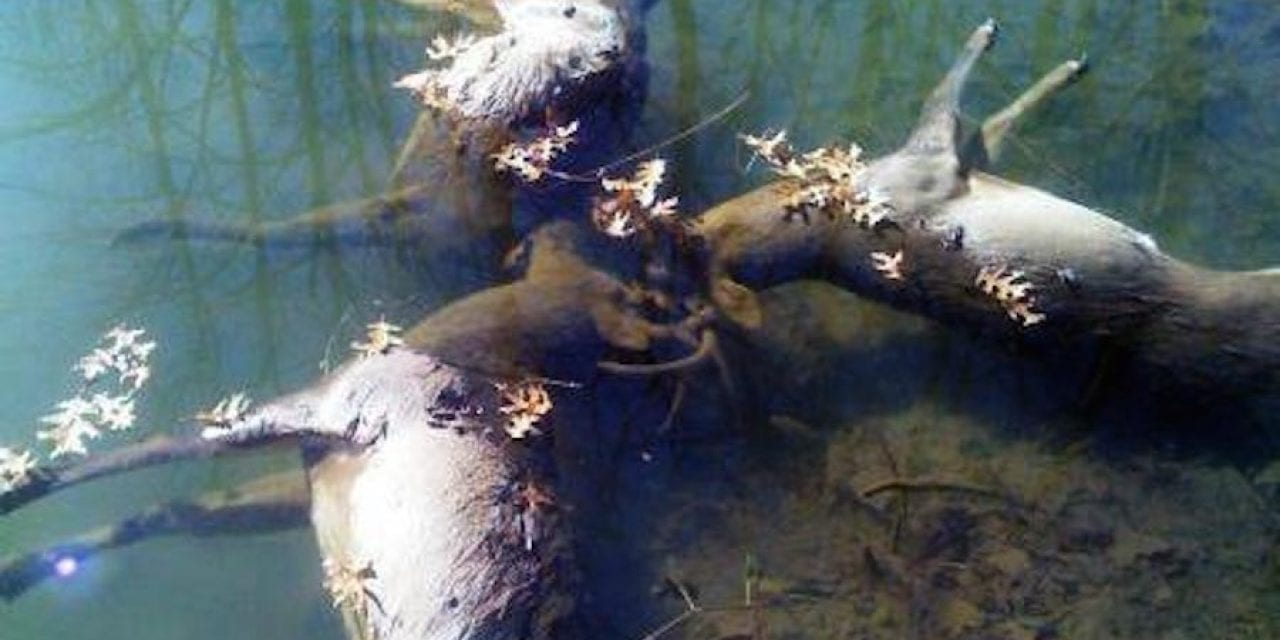 Remember When These 3 Ohio Bucks Were Found Locked Together?