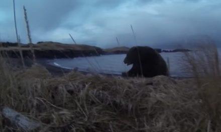 Video: Kodiak Bear Charges Hunter