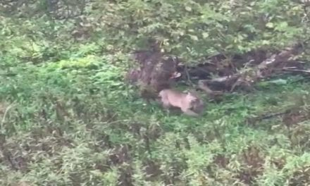 Bowhunter Gets Awesome Footage of Bobcat Bagging a Squirrel