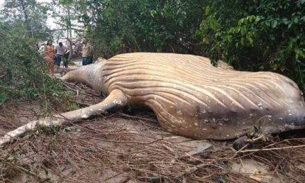 How Did This Dead Humpback Whale Wash Ashore in the Amazon Jungle?