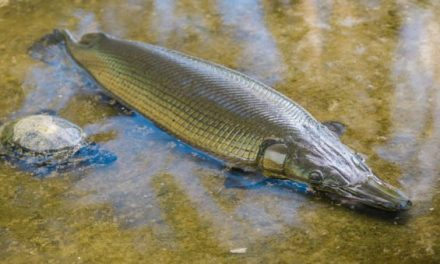 Texas Decides on New Alligator Gar Regulations