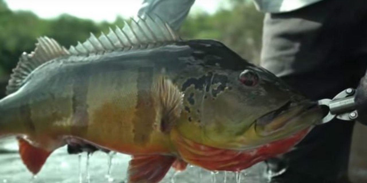 Video: Jon B. Lands a Monster Peacock Bass in Brazil