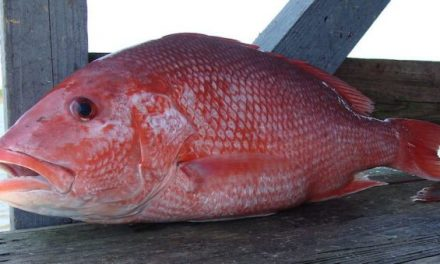 Gulf States Can Make the Call in Recreational Red Snapper Management, Says Council