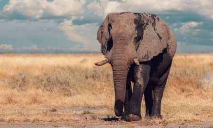 Botswana Lifts 5-Year Ban on Elephant Hunting