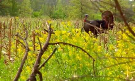 Close Range Shooting: Scoring a Gobbler That You Can Almost Touch