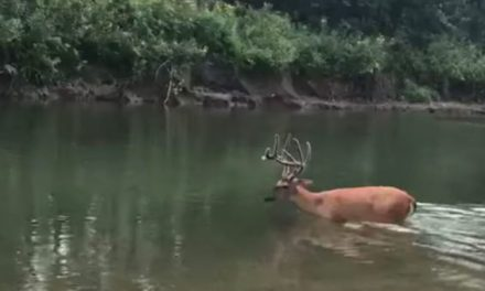 Mature Buck Seemingly Suffering From EHD Walks Straight to Its Death