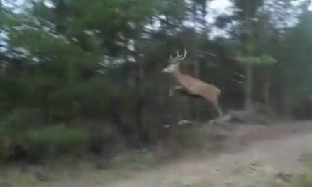 Deer Jumps So High His Antlers Scrape the Tree Branches