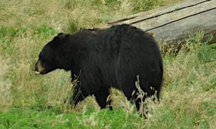 Where to Shoot a Bear With a Bow: Shot Placement Guide for Archery Bear Hunts