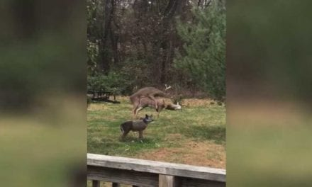 Young Buck Tries to Make It With Decoy, Ends Up Knocking Its Head Off