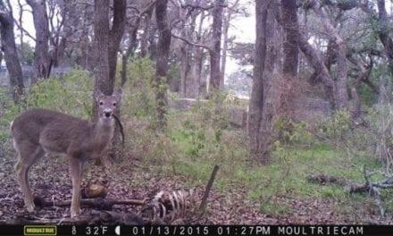 Photos of Deer Eating Human Carcass Captured in Texas