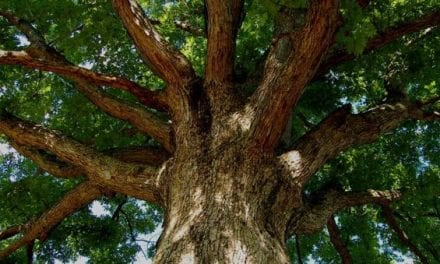 Tree ID: 5 Trees All Outdoorsmen Should Be Able to Recognize