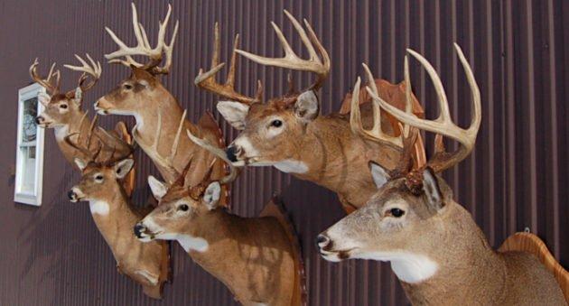Deer Taxidermy Options