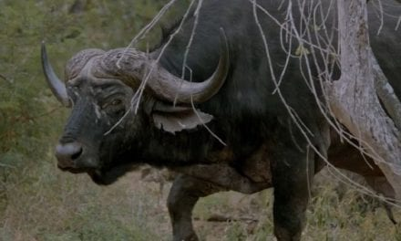 Cape Buffalo Hunting Video Captures Every Emotion Attached to Hunting