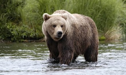 Alaska Shuts Down Bear Hunting Due to COVID-19 Concerns