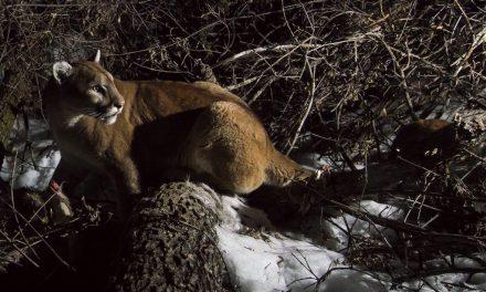 New mountain lion data for the Pine Ridge