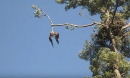 Army Vet Shoots Down Bald Eagle to Save It