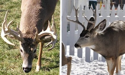 Whitetail vs. Mule Deer: The Differences, Why You Should Hunt Them and Which is Best